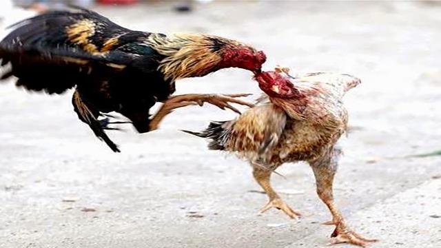 Agen Sabung Ayam Online Uang Asli
