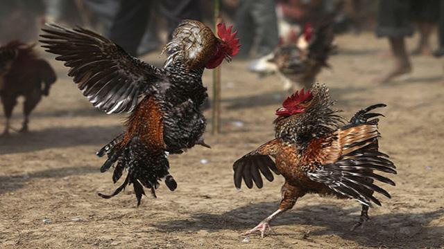 Situs Resmi Sabung Ayam S128 Online